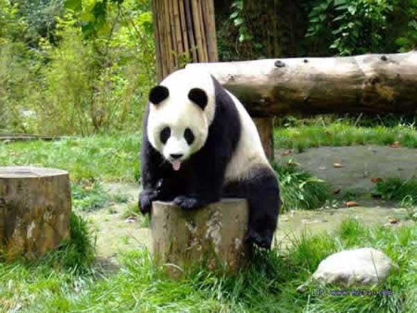 """成都大熊猫繁育研究基地是为拯救濒危野生动物大熊猫而兴建的具有世界水平的大熊猫繁育科研机构。基地建成了科研大楼、开放研究实验室、兽医院、兽舍和熊猫活动场、天鹅湖、大熊猫博物馆、综合服务部等基础设施,形成竹木苍翠,鸟语花香,集自然山野风光和优美人工景观为一体,适宜大熊猫及多种珍稀野生动物生息繁衍的生态环境。至今基地共繁殖大熊猫32胎,产48仔,成活28仔;完成相关科研课题50多项,获奖30多项;先后荣获联合国环境规划署颁发的""""全球500佳"""",以及""""中华绿色科技金奖"""",""""全国环境综合治理优秀工程"""","""