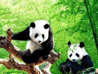 15:30 游览世界一流,华东最大的【大熊猫保护中心】(门票120元/人,游