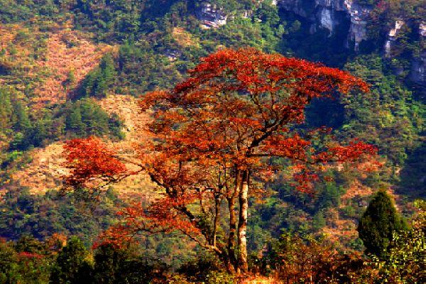 景点金佛山 金佛山是国家风景名胜区,国家级自然保护区,国家森林公