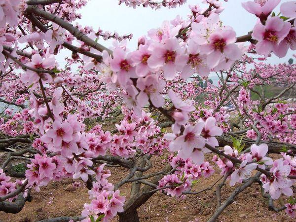 成都桃花风景图片