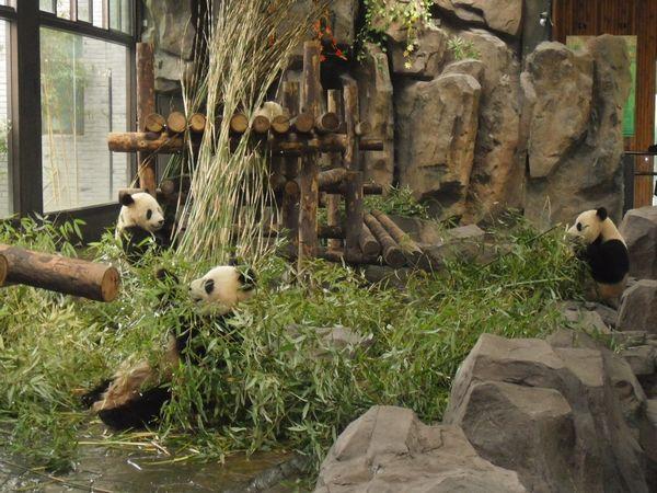 场馆模仿大熊猫的自然生活环境,活动区域内有供大熊猫攀爬的大树和