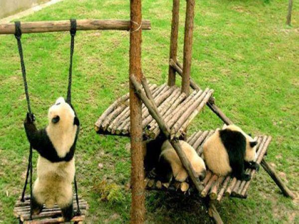 场馆模仿大熊猫的自然生活环境,活动区域内有供大熊猫攀爬的大树和木