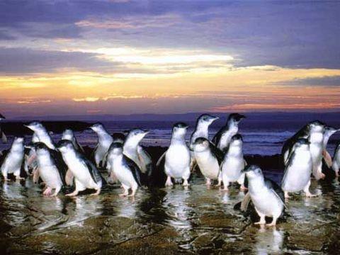 澳大利亚-墨尔本8日游>澳航,亲子农庄,企鹅归巢,淘金