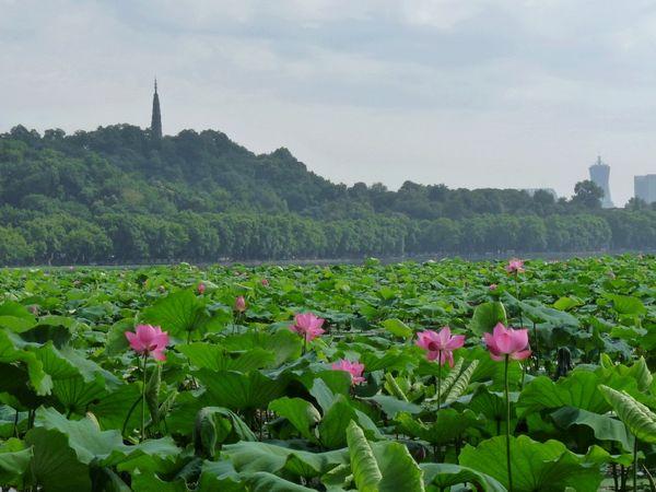 杭州风景图片荷花